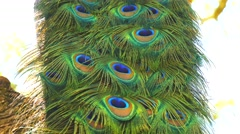 Peacock male in a tree (4K) Stock Footage
