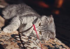 fanny kitten   playing - stock photo