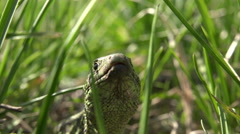 Lizard who hides in grass on a sunny day, real time,4k, close-up. Stock Footage
