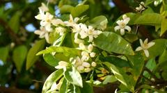 Orange blossoms in spring, Azahar (4K) Stock Footage