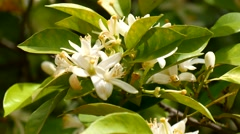 Orange blossoms in spring, Azahar (4K) Stock Footage