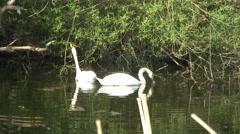 Swans feeding on trees 01 Stock Footage