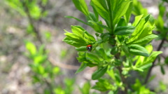 Ladybird on a leaflet Stock Footage