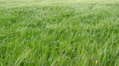Spikes of green wheat moving in the wind (4K) Stock Footage