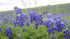 Field of blooming Bluebonnets in Texas - stock footage