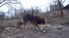 Beautiful mongrel dog with collar eating his food Stock Footage