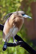 squacco heron siting on branch - stock photo