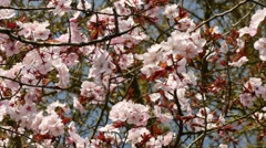 Looking up at pink blossom, 4K, UHD Stock Footage