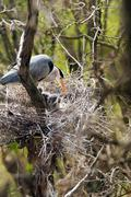 Grey heron in nest with two chicks - stock photo