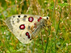 Nomion butterfly sitting on the grass Stock Photos