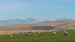 Sheep Grazing In Hilly Landscape Stock Footage