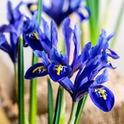 Closeup of iris flowers in burlap on beige background, macro Stock Photos