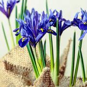 Iris flowers in burlap on beige background, toned style, closeup Stock Photos