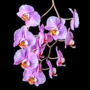 beautiful blooming twig of purple orchid phalaenopsis on black background - stock photo