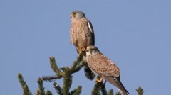 Kestrel, falco tinnunculus, landing on tree branch with wings spread Stock Footage