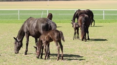 Old Kladrub black horse mare with foal Stock Footage