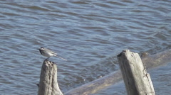 River, wagtail on driftwood Stock Footage