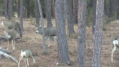 Rutting Buck Selects One Doe, Follows Her Stock Footage