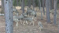 Mule Deer Buck checks out a herd of does for one in estrus. Stock Footage