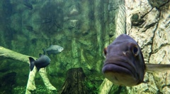 Underwater life of freshwater fish. Fish stares into the camera Stock Footage