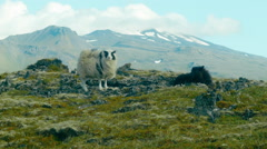 Rocks and Moss with Sheep in ICELAND Stock Footage