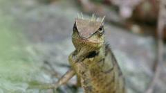 Oriental garden lizard Stalking Stock Footage