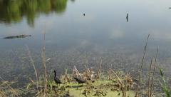 Alligator swimming past some American coot Stock Footage