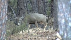 Second Serious Buck Fight of the Day--Variable Slow Motion Stock Footage
