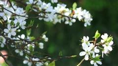 Spring fruit tree blossom Stock Footage
