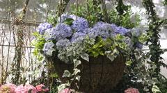 Hydrangeas in the Garden/ 4k Flower footage Stock Footage