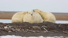 Polar Bears cuddling Stock Footage