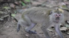 Monkey growling threateningly Stock Footage