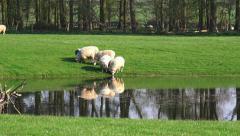 Lambs grazing in a field Stock Footage