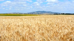 Stock Video Footage of Landscape ripe wheat field, golden field