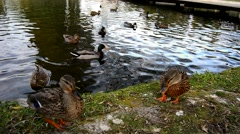 American black ducks on a lake, Banyoles, Girona, Spain Stock Footage