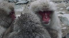 Snow monkeys grooming - stock footage