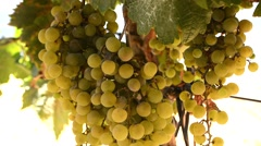 Bunch of grapes on a vine, Jerez de la Frontera, Cádiz, Spain Stock Footage