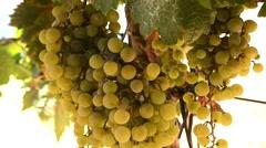 Bunch of grapes on a vine, Jerez de la Frontera, Cádiz, Spain - stock footage