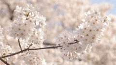 Close up of cherry blossoms fluttering in the wind, Tokyo, Japan Stock Footage