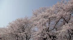 Cherry blossoms in full bloom in a city park, Saitama Prefecture, Japan Stock Footage