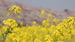 Rapeseed field and cherry blossoms in the background, Saitama Prefecture, Japan Stock Footage