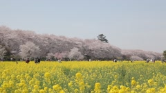 People in a rapeseed field with cherry blossoms in the background, Saitama Stock Footage
