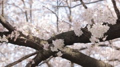 Close-up shot of cherry blossoms in a park, Saitama Prefecture, Japan Stock Footage