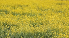 Rapeseed field in the wind, Saitama Prefecture, Japan Stock Footage