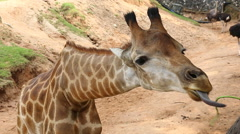 People Feeding To Giraffe In Zoo Stock Footage
