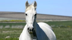 Stock Video Footage of White horse in the countryside, staying relaxed