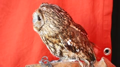 Owl looking intently, curiously Stock Footage