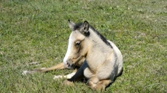 Free colt lying in the countryside, wildlife - stock footage