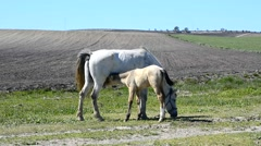 Foal suckling his mother grazing, in a sunny day in a field - stock footage