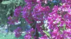 Honeybees gathering pollen in flowering plum tree - 4K 0014 Stock Footage